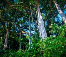 Chiêm ngưỡng cây đa 1000 năm trên đỉnh Sơn Trà