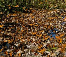 Vườn địa đàng của loài bướm ở Mexico