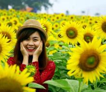 Tháng 12 này, lễ hội hoa dướng dương sẽ diễn ra lần đầu tiên tại Nghệ An