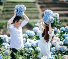Dân mạng rủ nhau lùng sục vườn hoa cẩm tú cầu đẹp nhất Việt Nam
