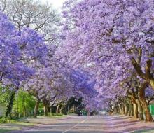 """""""Ngất lịm"""" với mùa hoa phượng tím rịm tại Đà Lạt vào tháng 3 và tháng 4"""
