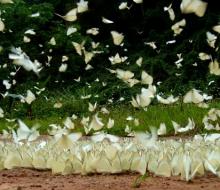 Rừng Cúc Phương hóa xứ thần tiên với hàng vạn con bướm trắng