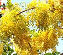 Mùa phượng vàng vọt ở Huế
