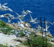 Về Hòn Hải (Bình Thuận) ngắm hàng triệu con chim nhạn đóng tổ trên đá