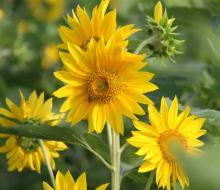Muôn hoa khoe sắc rực rỡ tại chợ hoa Đà Nẵng